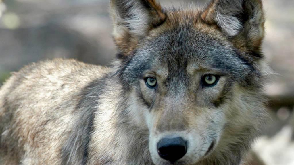 Der Ständerat und nun auch der Nationalrat wollen Bestimmungen, um den Wolf in Schranken zu halten. (Archivbild)