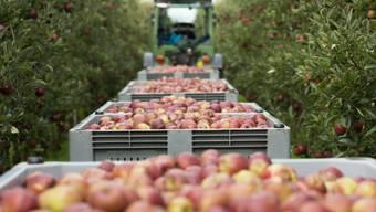 Kisten voller geernteter Äpfel (Archiv)