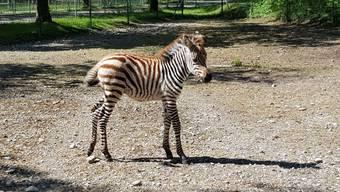 Im Tierpark «Seeteufel» in Studen BE gab es Zebra-Nachwuchs