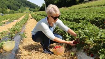 Wer in den ersten Tagen pflückt, erhält die schönsten und grössten Erdbeeren.