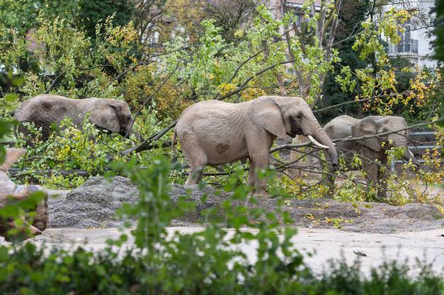 Der Zoo Basel wird sich bemühen, dass die Elefanten trotz der Bauarbeiten besucht werden können.