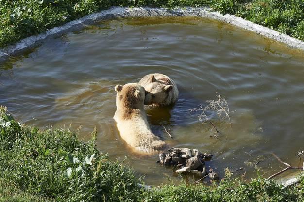 Der erste Schritt der Zusammenführung der insgesamt drei Bären ist damit geglückt.