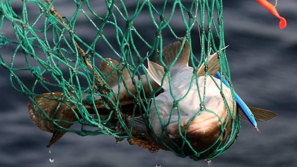 Brexit und die Fischerei: Der Nordsee droht ein Kabeljaukrieg
