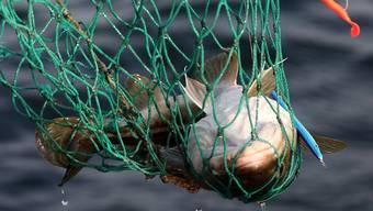 Ein Kabeljau zappelt im Netz: Der Nordsee droht ein Kablejaukrieg (Symbolbild).