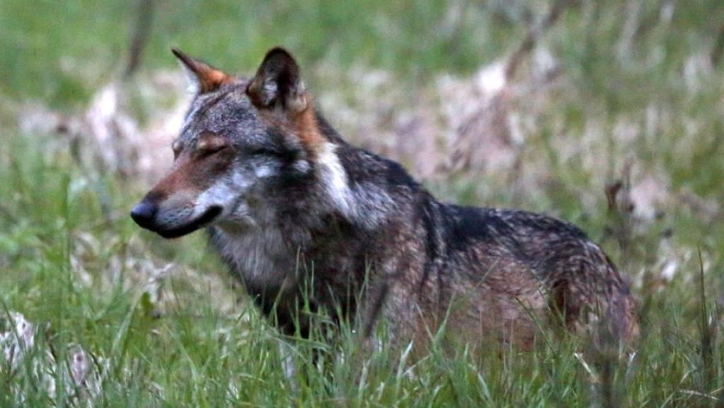 Das Walliser Stimmvolk wird sich wohl frühestens im Herbst 2020 an der Urne über Grossraubtiere wie den Wolf äussern können. (Archiv)