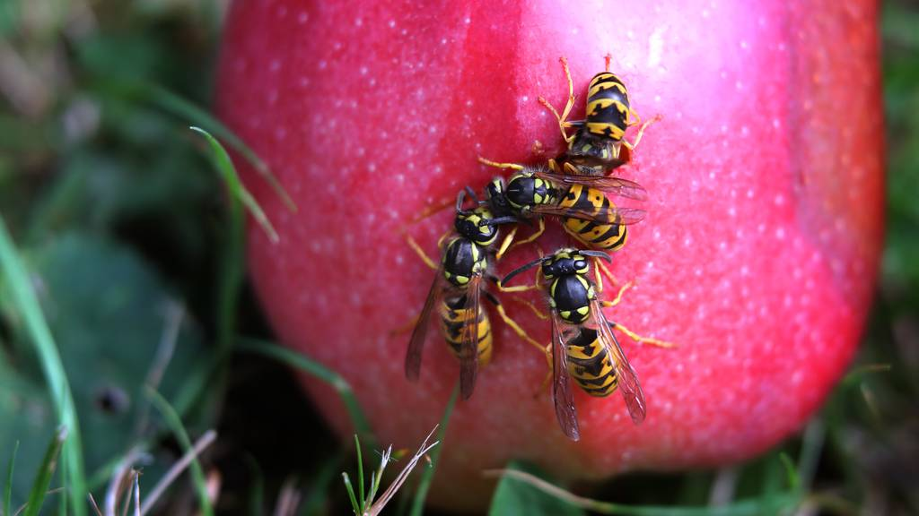 Mit diesen Tricks schützt du dich vor Wespen