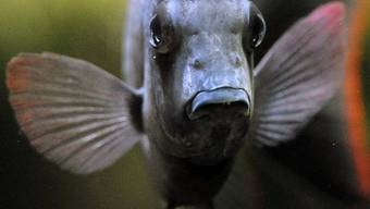 Rückstände von Psychopharmaka im Wasser machen Barsche asozial (Symbolbild)
