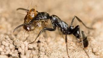 Der Raubzug auf Termiten endet für Ameisen oft mit dem Verlust eines Beins.Wikipedia