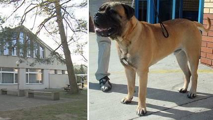 Beim Hund handelt es sich um einen Bullmastiff. (Beim abgebildeten Hund handelt es sich um ein Symbolbild)