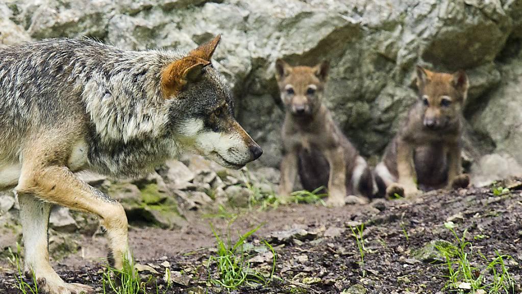 Jungwölfe mit ihrer Mutter im Juraparc: Im Gegensatz zu einem Bündner Wolfsrudel, das nun teilweise abgeschossen werden soll, riskieren diese Wölfe nichts. (Archivbild)