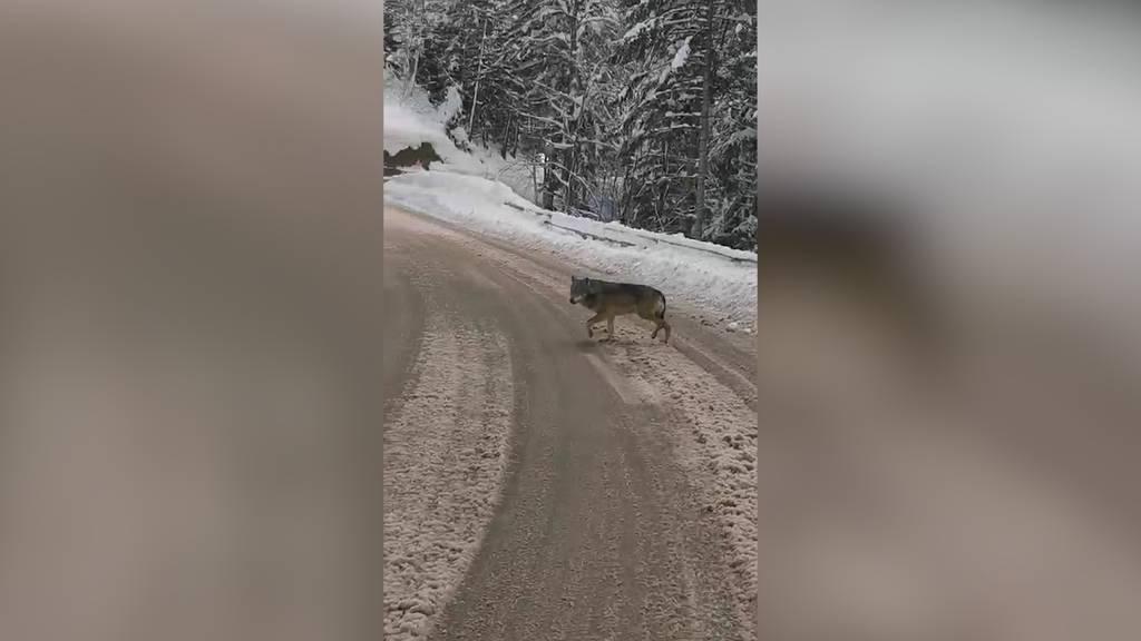 Hautnah: Leserreporter filmt Wolf bei Pfäfers