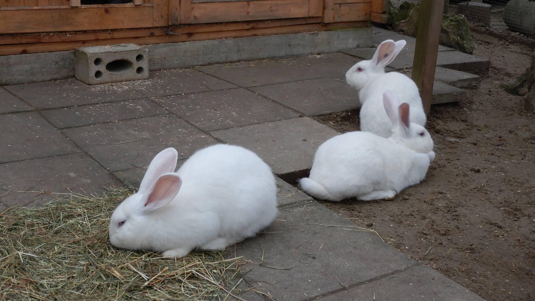 Kaninchen, weiss, weiblich