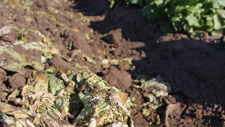 Nachdem anfangs rohes Gemüse für den Ursprung der Infektion gehalten wurde, tappt man nun wieder im Dunkeln. Daniel Karmann/keystone