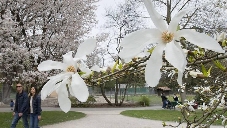 Noch blühen sie prächtig. Einmal verblüht, möchte die Pflanze ihre Blüten jedoch möglichst schnell loswerden. Wie sie den richtigen Zeitpunkt dafür findet, haben Forscher der Uni Genf herausgefunden. (Symbolbild)