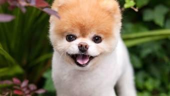 Der kleine Pomeranian Boo hat seine Fans seit 2009 auf einer eigenen Seite im sozialen Netzwerk mit immer neuen Fotos begeistert. Zuletzt hatte er über 16 Millionen Follower.