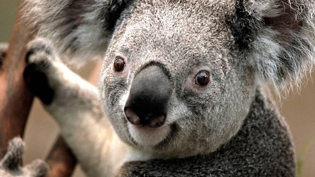 Koalabär hat erstmals Nachwuchs bekommen