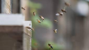Bienen fliegen ab Temperaturen um 8 Grad. Wärme macht ihnen nichts aus, Frost aber schon.