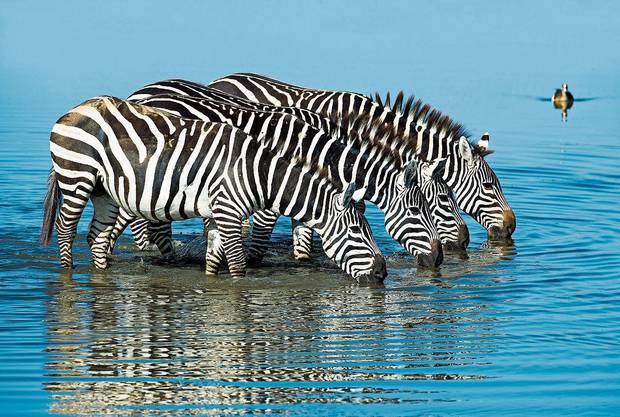 Eine Zebra-Herde in Afrika gönnt sich eine Erfrischung.
