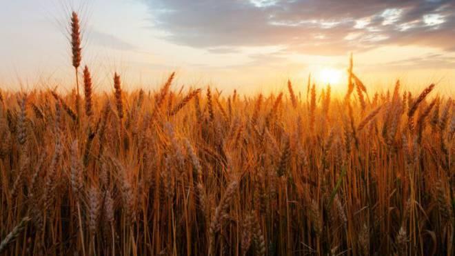 Schön, aber gefährlich: Wer an Zöliakie leidet, macht einen grossen Bogen um Weizen. Foto: iStockphoto