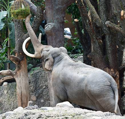 Elefantenbulle Maxi bei der Futtersuche.