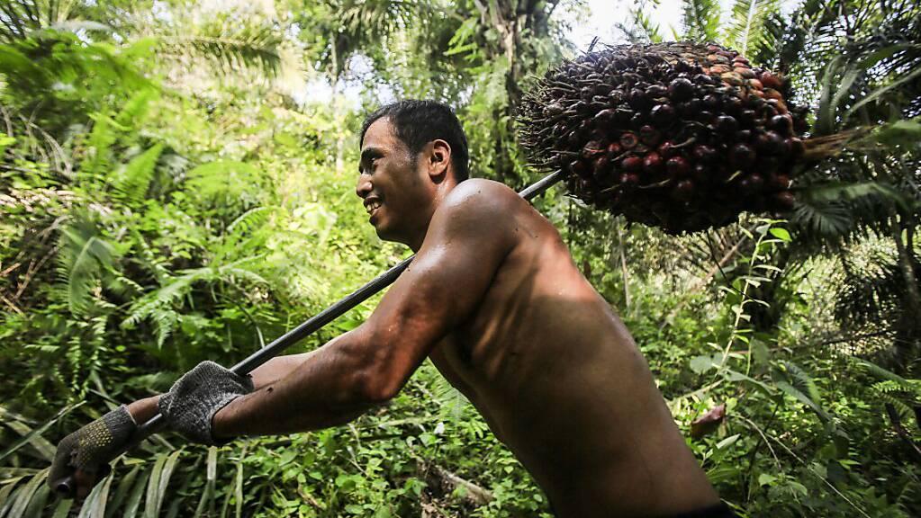Die Stimmberechtigten in der Schweiz sagen Ja zum Freihandelsabkommen mit Indonesien. Dieses bringt Zollerleichterungen für Palmöl, allerdings lediglich für Kontingente. Im Bild ein Erntearbeiter mit Ölpalmen-Früchten. (Archivbild)