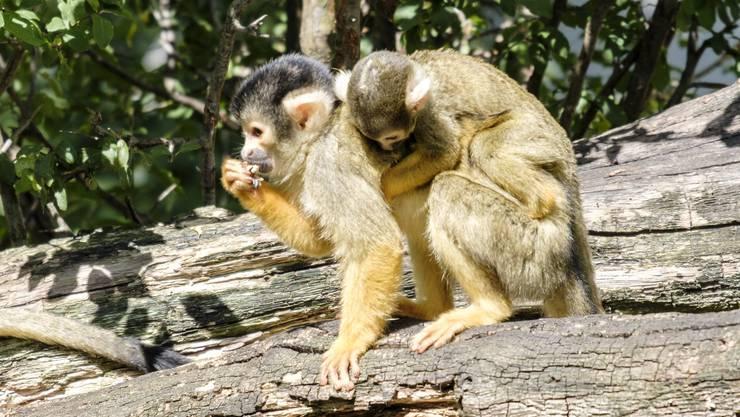 Ein junges Tottenkopfäffchen klammert sich auf dem Rücken seiner Mutter fest.
