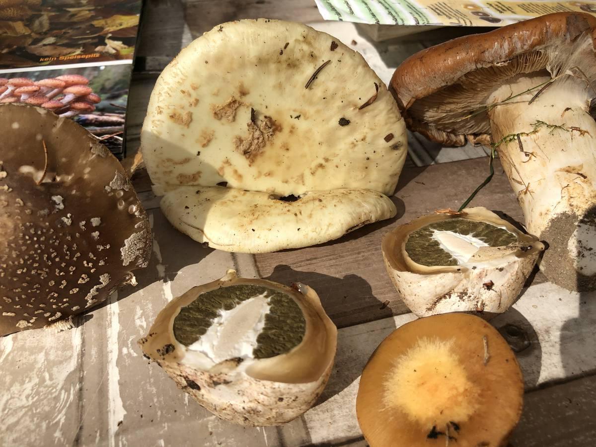 Diese Pilze sind giftig und sind im Kompost gelandet. (© FM1Today)