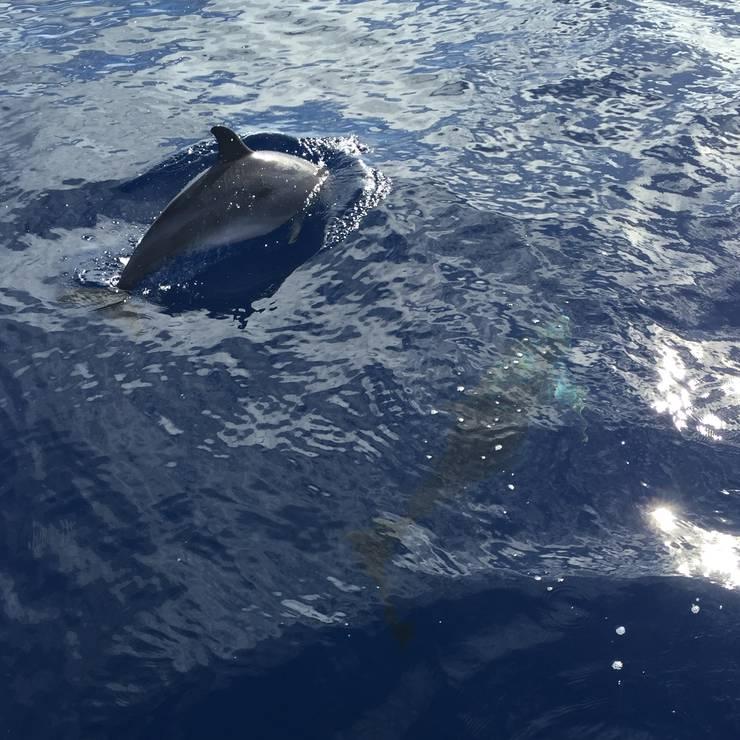Delfine beobachten vor Madeira