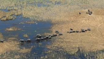 In Botswana  leben rund 135'000 Elefanten, das entspricht etwa einem Drittel aller afrikanischen Elefanten. Laut Staatschef Masisi gibt es in dem Land eine Überbevölkerung an Elefanten. Daher würden wieder Lizenzen für Trophäenjagden vergeben. (Archivbild)