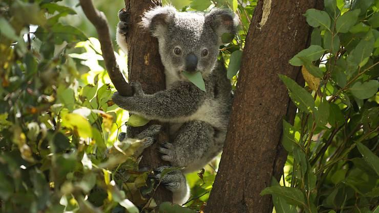 Ein junger Koala isst Blätter in einem Wildpark bei Brisbane in Australien. (Archivbild)