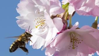 Die Auswirkungen von Insektenmitteln auf Bienen sind umstritten. Der Einsatz mehrerer Schutzmittel mit bestimmten Wirkstoffen ist darum in der EU eingeschränkt.