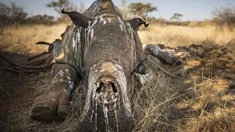 Die Zahl der von Wilderern getöteten Nashörner in Südafrika ist etwas zurückgegangen. (Symbolbild)