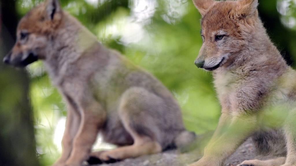 Im Wallis gibt es zwei Wolfsrudel mit Nachwuchs. Im Bild junge Wölfe im Zoo Zürich. (Symbolbild)