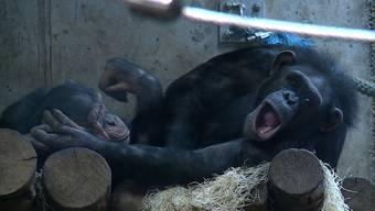Tierpflegerin Angela Widmer trainiert dafür mehrmals wöchentlich mit ihren Schimpansen für den Tierarztbesuch. Mittlerweile ist die Affenbande gelassener geworden.