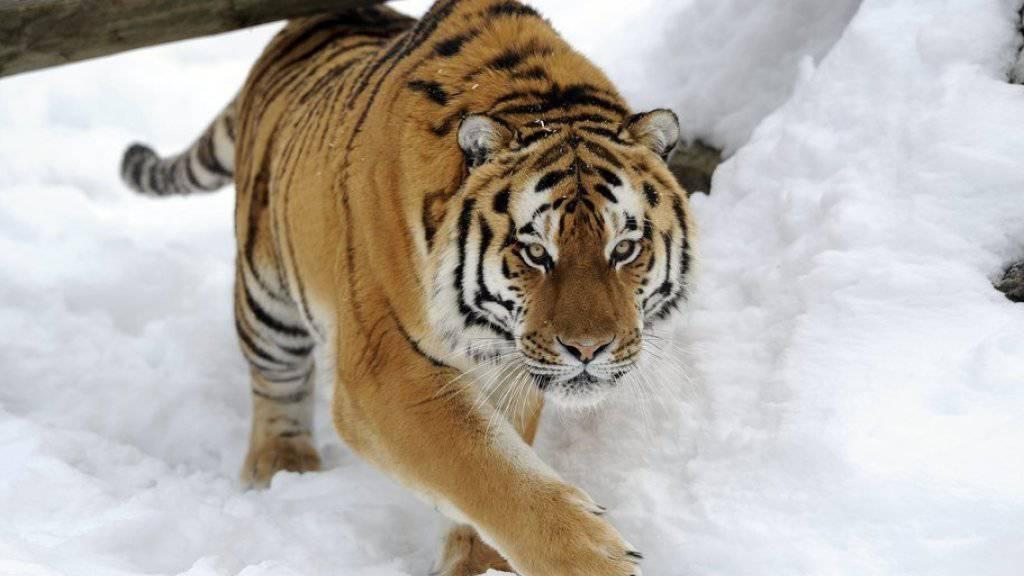 Sibirischer Tiger (Symbolbild)