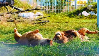 Wohlig: Diese beiden Löwen geniessen im Raubtierpark in Subingen offenbar die wärmenden Strahlen der Abendsonne.