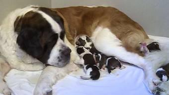 13 gesunde Welpen hat die Bernhardiner-Hündin Dana in Gontenschwil auf die Welt gebracht. Sogar die Grossmutter hat als Milchlieferantin mitgeholfen.