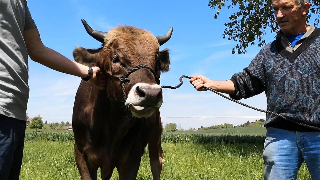 Muni-Training: Züchter Walter Rüttimann geht mit dem noch namenlosen Siegertier spazieren, zusammen mit Spender Kilian Küng gewöhnt er ihn an Menschen und deren Berührungen.