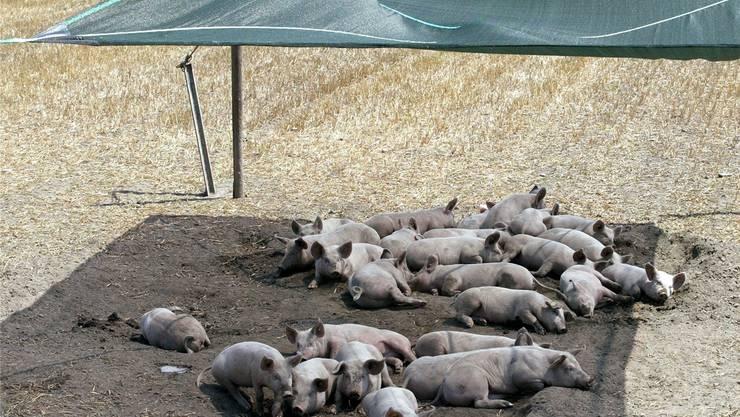 Im Rekordsommer 2003 suchten selbst die Schweine (hier im bündnerischen Trimmis) den Schatten. KEYSTONE