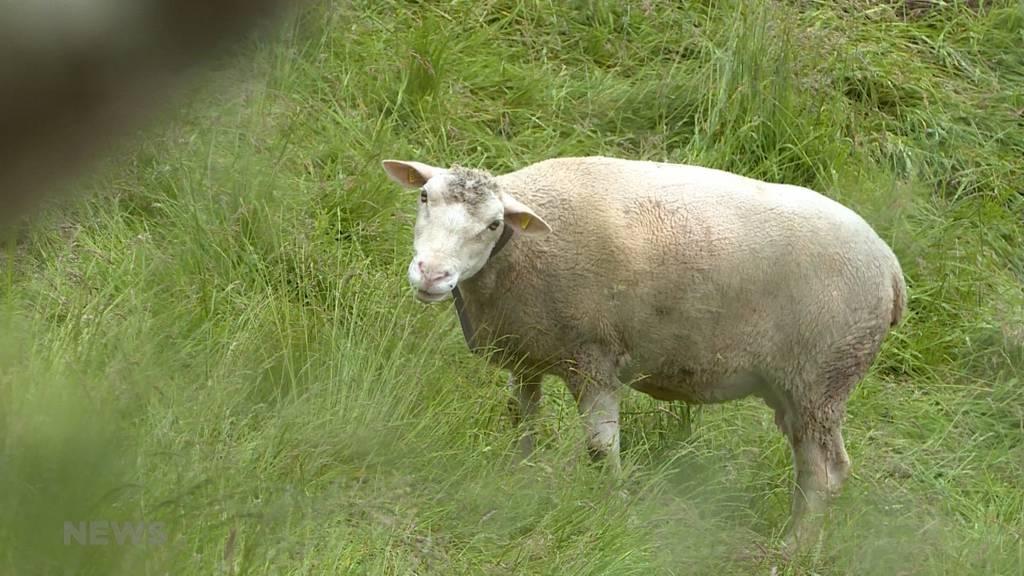 Aussergewöhnlicher Fall: Hat ein Luchs elf Schafe gerissen?