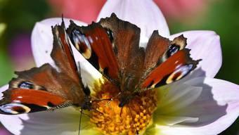 Schmetterlinge (im Bild Tagpfauenaugen) und andere Insekten mögen bio: Auf biologisch bewirtschafteten Flächen sind sie fast doppelt so zahlreich wie auf anderen. Das ist jetzt empirisch bewiesen worden. Biologische Landwirtschaft könnte also viel ausrichten gegen das Artensterben. (Archivbild)