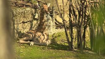 Majengo wohnt mit seinen Eltern und einer weiteren Giraffenkuh im Gehege des Antilopenhauses. Vom Papa wird er aussergewöhnlich liebevoll umsorgt.