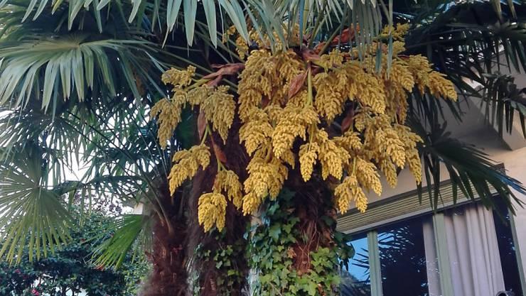 Die Tessinerpalme hat sich im Südkanton stark ausgebreitet und verdrängt einheimische Pflanzen.