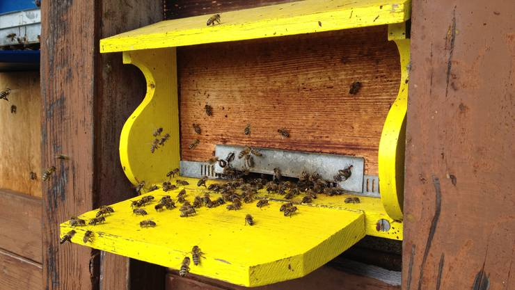 Fleissige Bienen am Flugbrett