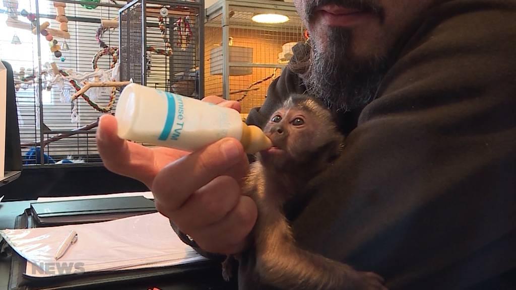 Neue Attraktion im Sikypark: Kapuzineräffchen wird von Hand aufgezogen