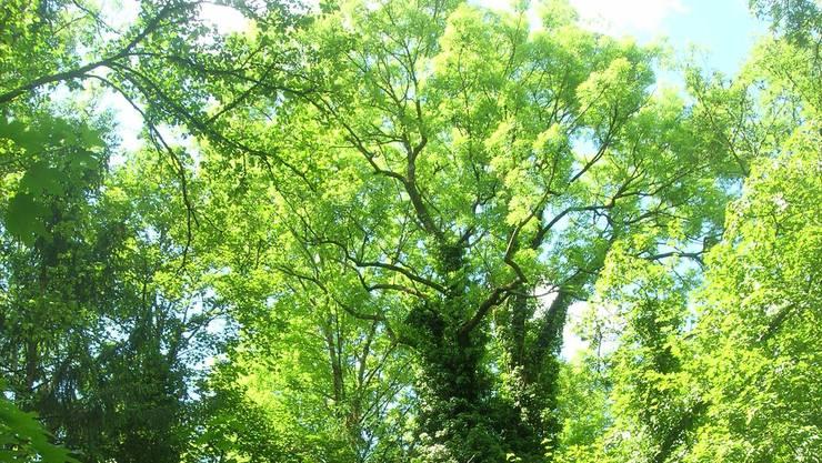 Grünräume wie das Döltschibach-Tobel am Üetliberghang gewinnen für das Stadtklima als Kaltluftspender an Bedeutung.