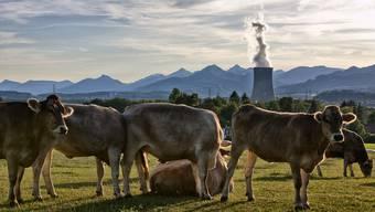 Trügerische Idylle: Kühe vor dem AKW Gösgen