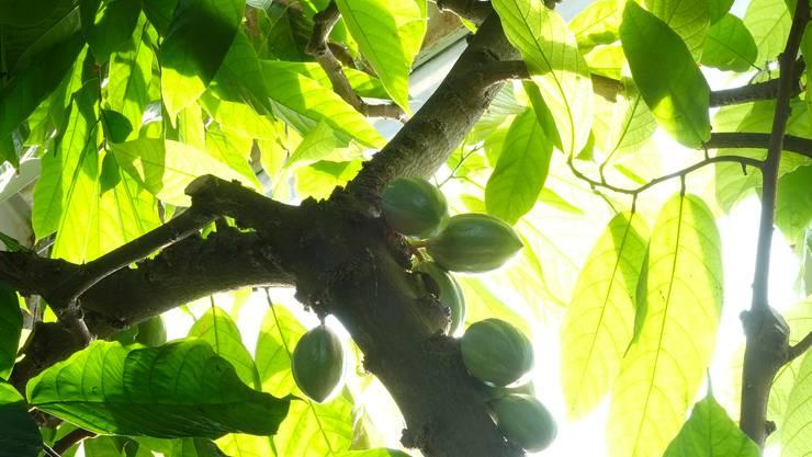 So wachsen die Früchte am Kakaobaum im Botanischen Garten der Universität Basel.
