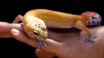 Der Schmuggler wollte die Geckos aufessen (Symbolbild)