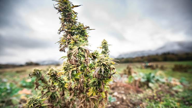Der 50-Jährige hatte in verschiedenen Gemeinden – unter anderem in Dietikon, Oetwil, Killwangen und Malters – in grossem Stil Drogenhanf angebaut. (Themenbild)